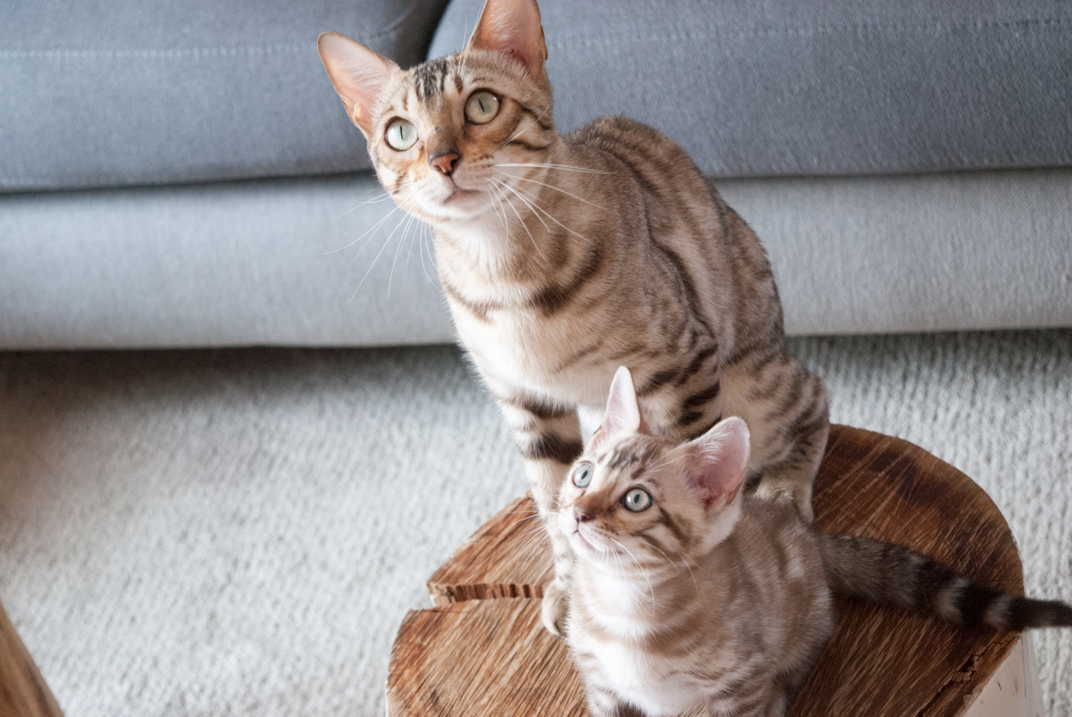 Enea – Bengal Kitten